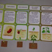 Lebenszyklus der Pflanzen